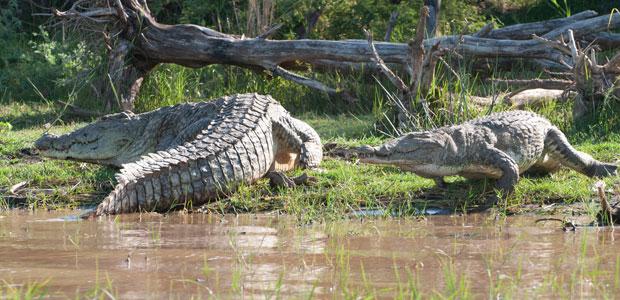 Ces crocodiles du Nil peuvent mesurer jusqu'à 7 mètres de long