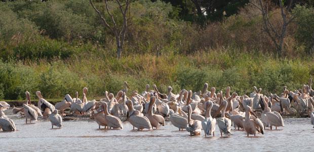 Les pélicans du Lac Chamo