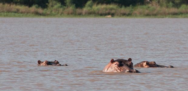 Tandis que les hippopotames montrent leurs petites oreilles