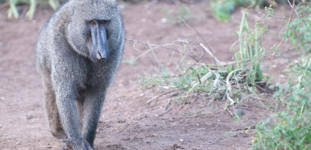 Babouin d'Afrique du Sud
