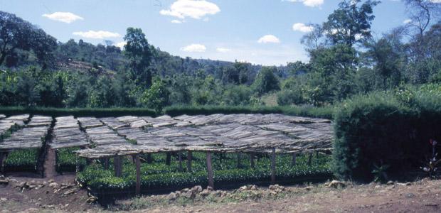 Sur les rives du Lac Tana, des jardins de caféiers