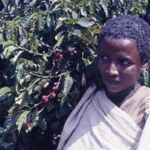 Fille Amhara dans les caféiers