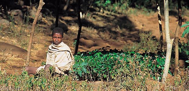 Jeune garçon qui protège son jardin de caféiers
