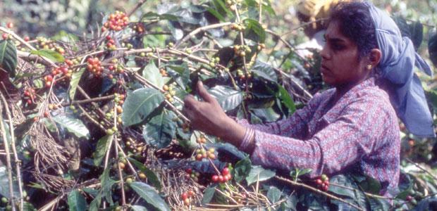 Cueillette du café en Inde