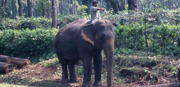 Un éléphant dans la plantation de Shanta Giry