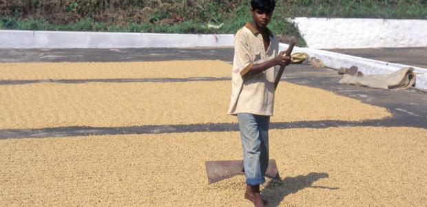 Séchage du café en Inde