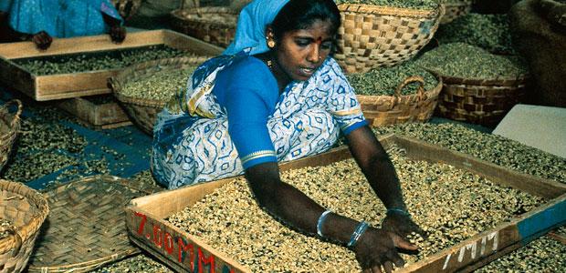 Tri du café vert en Inde