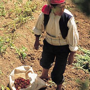 Récolte des pommes de terre sur l'île de Taquilé