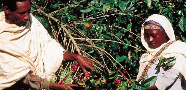 Père et fille Amhara à la cueillette des cerises de moka en 1984