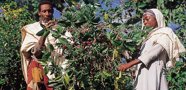 Père et fille Amhara dans les caféiers