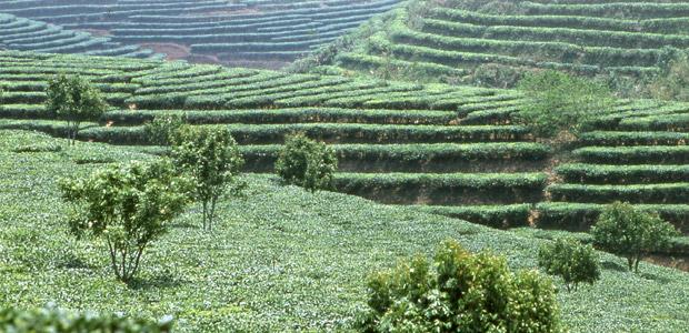 Des plantations de thé à perte de vue