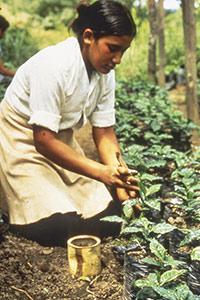 Repiquage des pousses de caféiers en Inde en 1987