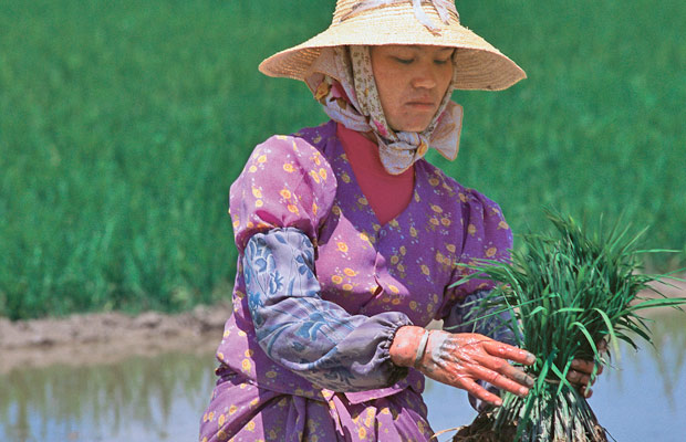 Le repiquage du riz au Yunnan