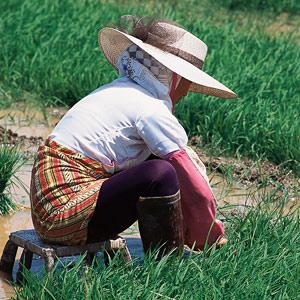 La récolte du riz au Yunnan