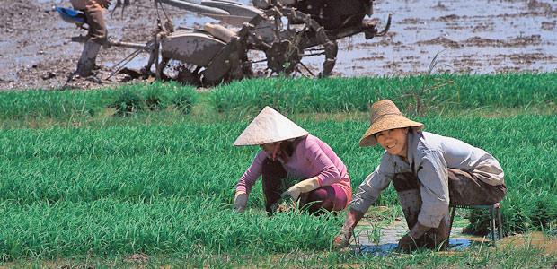 Les rizières du Xishuangbanna au Yunnan