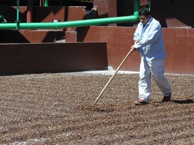 Séchage du café vert au soleil