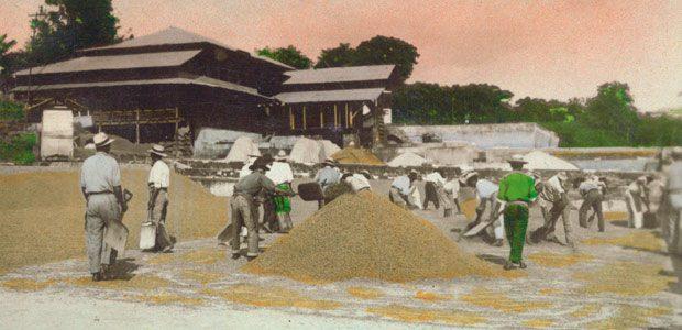 A la bénéficio, les ouvriers étalent le café vert au soleil pour le faire sécher